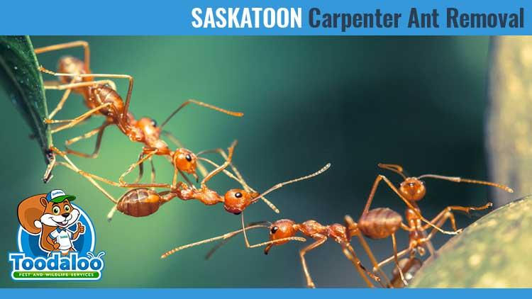 saskatoon carpenter ant removal