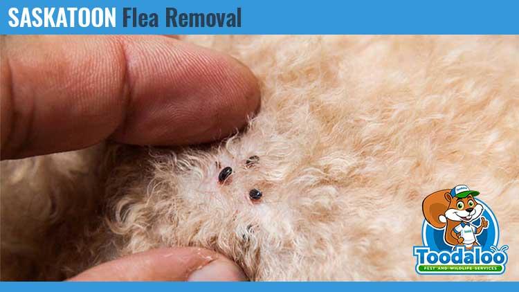 saskatoon flea removal