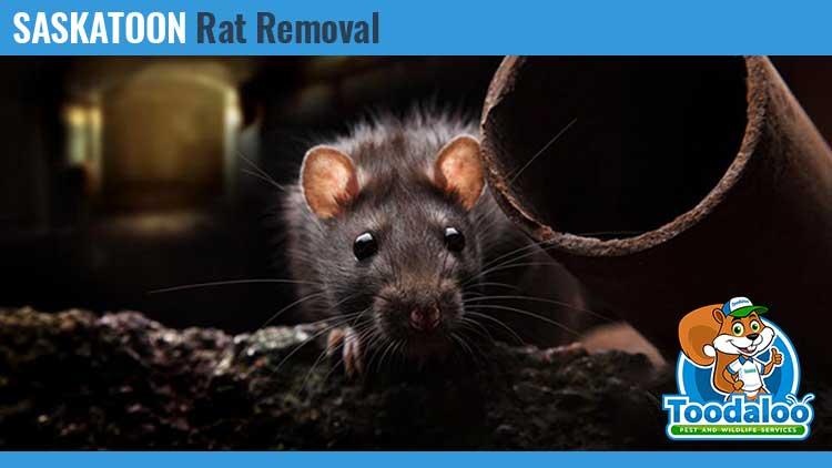 saskatoon rat removal