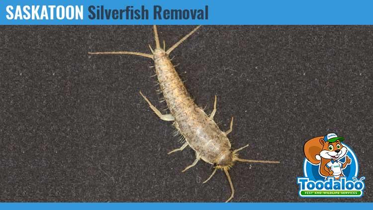 saskatoon silverfish removal