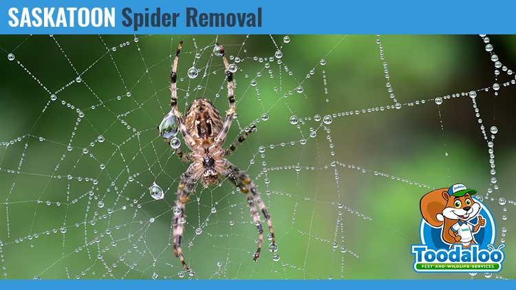 saskatoon spider removal