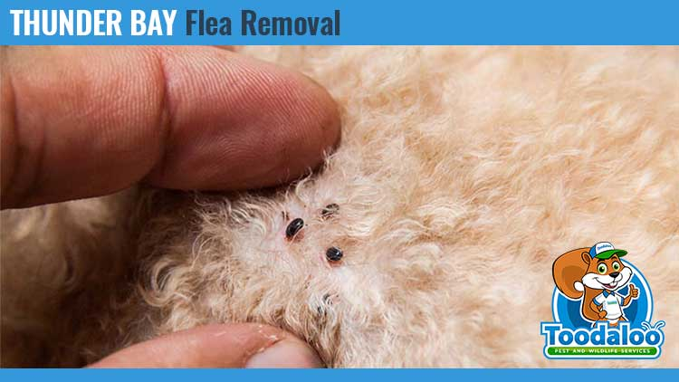 thunder bay flea removal