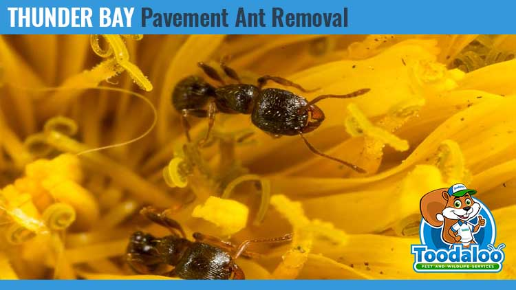 thunder bay pavement ant removal