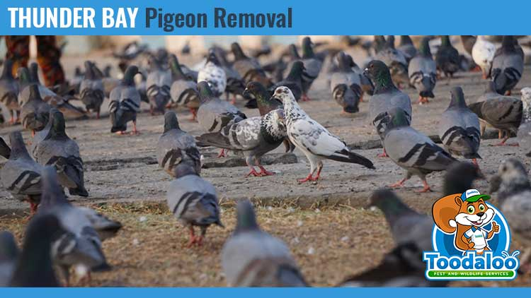 thunder bay pigeon removal