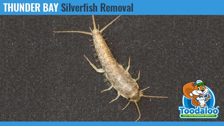 thunder bay silverfish removal