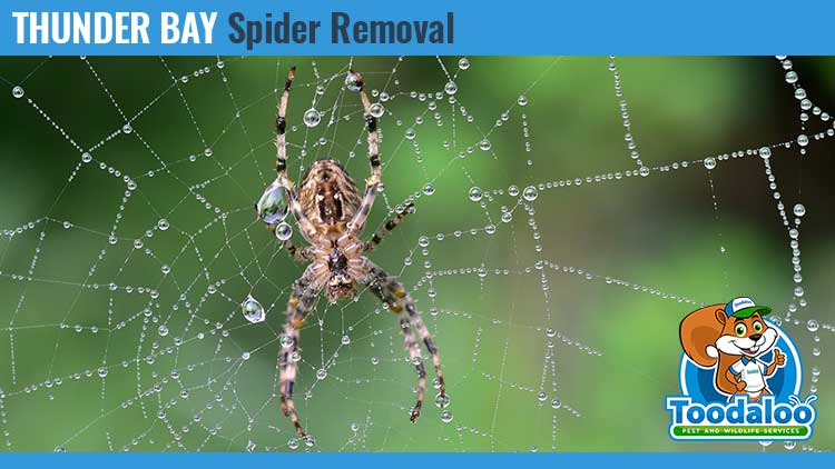 thunder bay spider removal