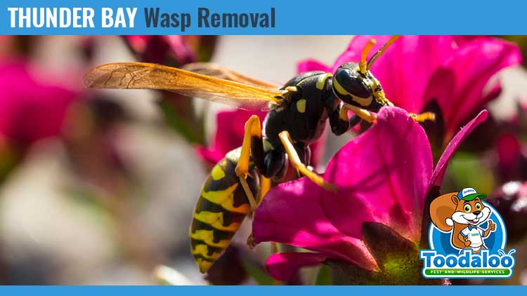thunder bay wasp removal