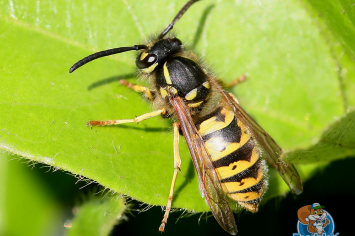 west vancouver wasp removal