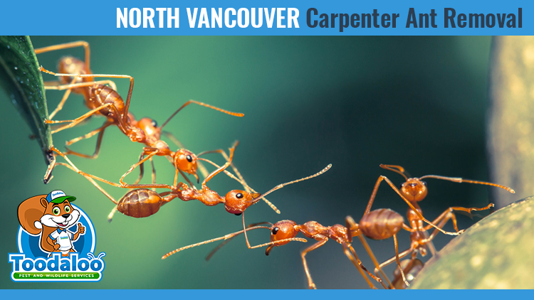 north vancouver carpenter ant removal