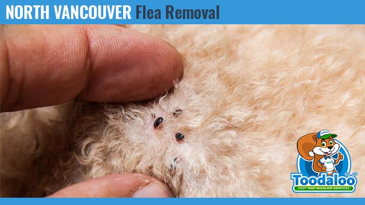 north vancouver flea removal