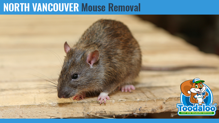 north vancouver mouse removal
