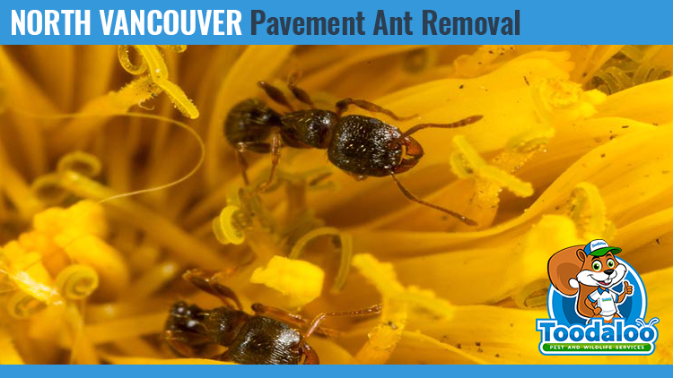 north vancouver pavement ant removal