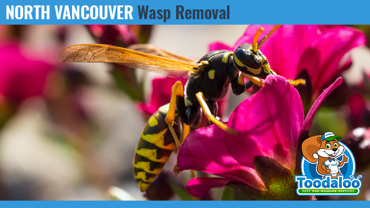 north vancouver wasp removal