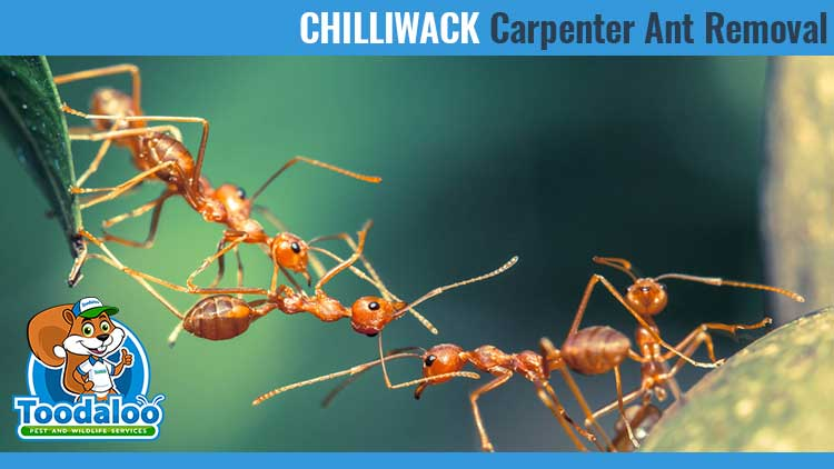 chilliwack carpenter ant removal