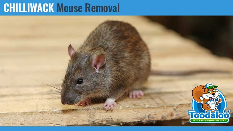 chilliwack mouse removal