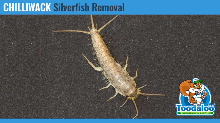 chilliwack silverfish removal