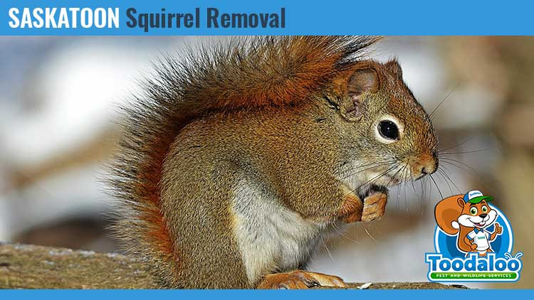 saskatoon squirrel removal