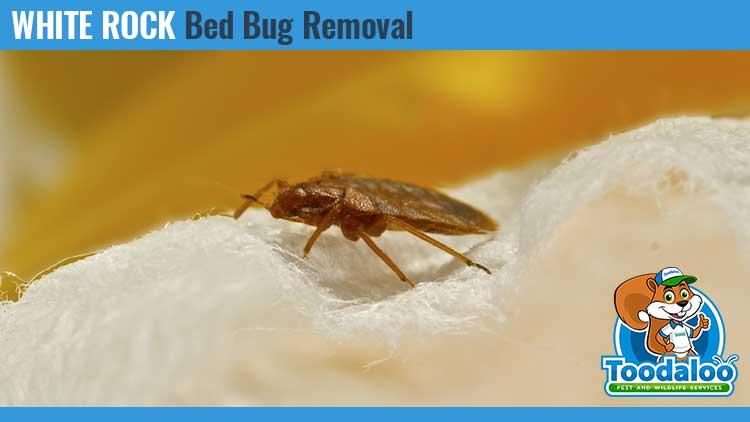 white rock bed bug removal