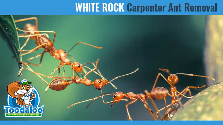 white rock carpenter ant removal