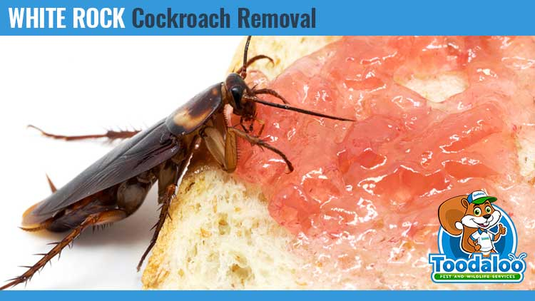 white rock cockroach removal