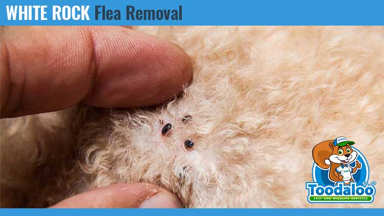white rock flea removal