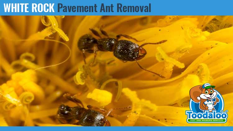 white rock pavement ant removal