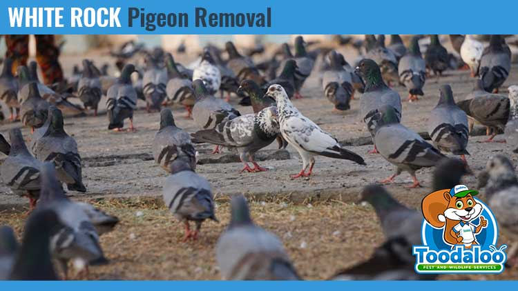 white rock pigeon removal