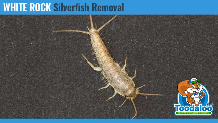 white rock silverfish removal