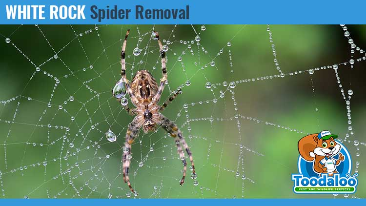 white rock spider removal