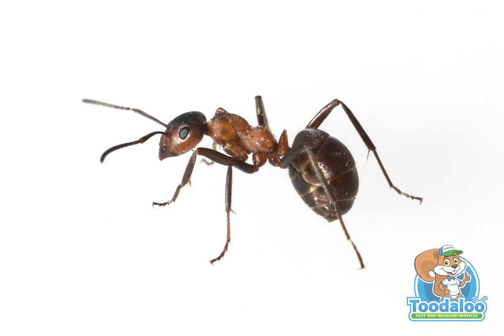 Axing Ants