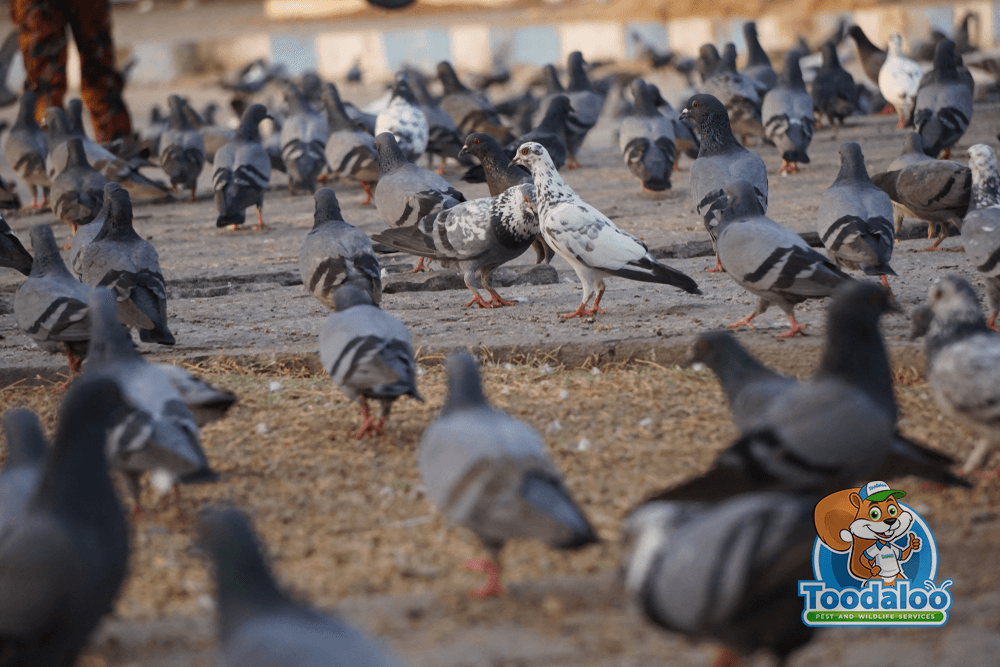 Preventing Pigeon Infestations