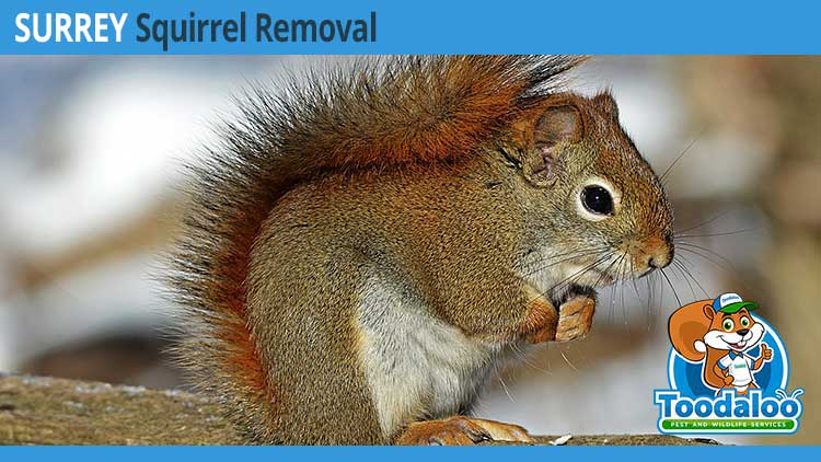surrey squirrel removal